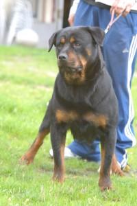 Rottweiler 042