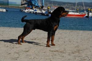 Rottweiler y otro 076